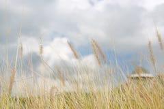 Fleur d'herbe sauvage de nature Coucher du soleil d'or en nature Profondeur de zone photos stock
