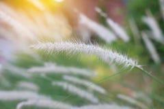 Fleur d'herbe sauvage de nature Coucher du soleil d'or en nature Profondeur de zone photos libres de droits