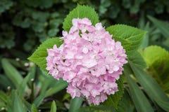 Fleur d'hortensia Photographie stock