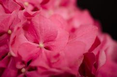 Fleur d'hortensia sur le fond noir 3 Photographie stock