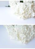 Fleur d'hortensia sur un fond blanc Photo libre de droits