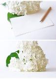 Fleur d'hortensia sur un fond blanc avec un espace pour le texte Images libres de droits