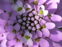 Fleur d'Iberis Image libre de droits