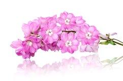 Fleur d'Incana de Matthiola de bouquet d'isolement sur le blanc Photo libre de droits