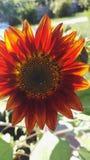 Fleur d'incendie Photos stock