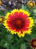 Fleur d'incendie Photos libres de droits
