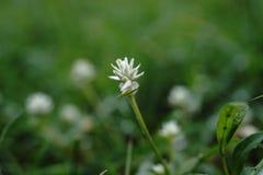 Fleur d'insecte Photographie stock libre de droits