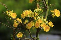 Fleur d'Integerrima d'Ochna d'arbre de l'AMI de Hoa Photographie stock libre de droits
