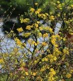 Fleur d'Integerrima d'Ochna d'arbre de l'AMI de Hoa Images stock