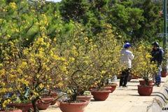 Fleur d'Integerrima d'Ochna d'arbre de l'AMI de Hoa Photo libre de droits