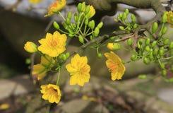 Fleur d'Integerrima d'Ochna d'arbre de l'AMI de Hoa Photos libres de droits