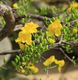 Fleur d'Integerrima d'Ochna d'arbre de l'AMI de Hoa Image libre de droits