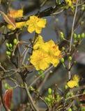Fleur d'Integerrima d'Ochna d'arbre de l'AMI de Hoa Photos stock