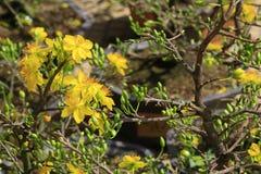 Fleur d'Integerrima d'Ochna d'arbre de l'AMI de Hoa Photo stock