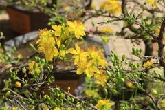 Fleur d'Integerrima d'Ochna d'arbre de l'AMI de Hoa Images libres de droits