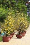 Fleur d'Integerrima d'Ochna d'arbre de l'AMI de Hoa Image stock