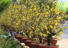 Fleur d'Integerrima d'Ochna d'arbre de l'AMI de Hoa Photographie stock