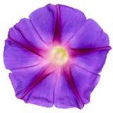 Fleur d'Ipomoea, gloire de matin japonais, d'isolement sur le fond blanc photographie stock