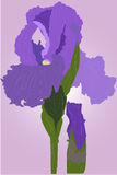 Fleur d'iris Photos libres de droits