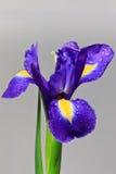 Fleur d'iris Photo stock