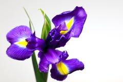 Fleur d'iris Photographie stock