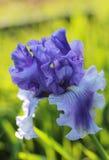 Fleur d'iris Images stock