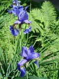 Fleur d'iris Photo libre de droits