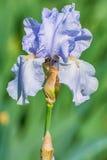 Fleur d'iris bleu Image libre de droits
