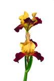 Fleur d'iris d'isolat sur un fond blanc Photos stock