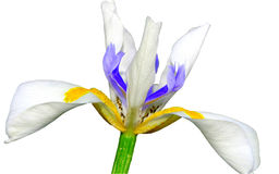 Fleur d'iris d'isolement Photographie stock