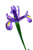 Fleur d'iris d'isolement sur le blanc Image stock