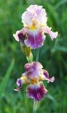 Fleur d'iris dans le jardin Photo libre de droits