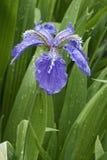 Fleur d'iris de toit Photographie stock libre de droits