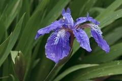 Fleur d'iris de toit Images libres de droits