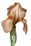 Fleur d'iris germanique images libres de droits