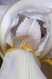 Fleur d'iris germanique photographie stock libre de droits