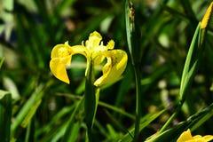 Fleur d'iris jaune photos libres de droits