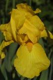 Fleur d'iris jaune avec des baisses de rosée Images libres de droits