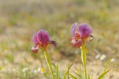 Fleur d'Iris Petrana Photographie stock libre de droits