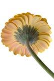 Fleur d'isolement Photos libres de droits