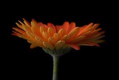 Fleur d'isolement Photographie stock libre de droits