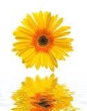 Fleur d'isolement au-dessus du fond blanc Images libres de droits