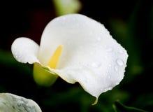 Fleur d'isolement blanche et verte Photo stock