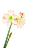 Fleur d'isolement d'amaryllis Photo libre de droits