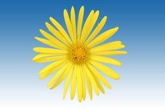 Fleur d'isolement d'oeil de boeuf Images libres de droits