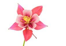 Fleur d'isolement de fleur de Columbine Photos stock