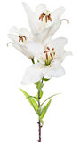 Fleur d'isolement de lis blanc de trois fleurs Photo stock