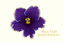 Fleur d'isolement de violette africaine Photographie stock libre de droits