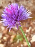 Fleur d'isolement par fleur pourpre dans un domaine de ressort photos stock