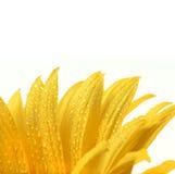 Fleur d'isolement sur le blanc photographie stock